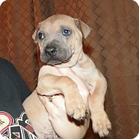 Adopt A Pet :: 2 male shar pei mixes - mooresville, IN