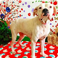 Boxer Dog for adoption in Austin, Texas - Sophie Girl