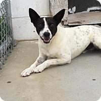 Adopt A Pet :: ZIGGY - Cadiz, OH