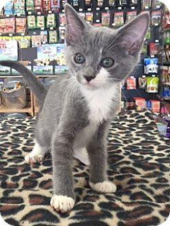 Domestic Shorthair Kitten for adoption in McKinney, Texas - Miles