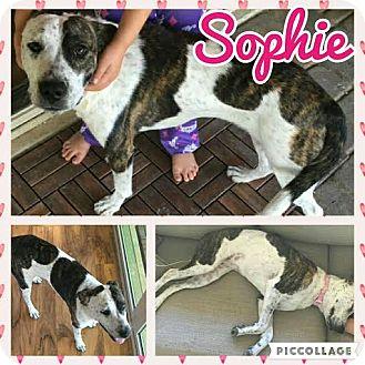 Australian Cattle Dog/Pit Bull Terrier Mix Dog for adoption in Scottsdale, Arizona - Sophie