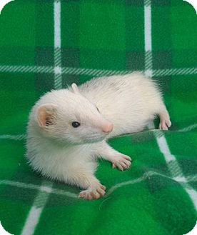 Ferret for adoption in Cleveland, Ohio - Tobias