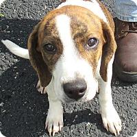 Adopt A Pet :: Shirley - Reeds Spring, MO