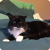 Domestic Mediumhair Cat for adoption in Kenai, Alaska - Dawson
