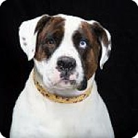 St. Bernard/American Bulldog Mix Dog for adoption in Franklin, Tennessee - TURBO