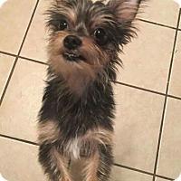 Adopt A Pet :: Bosco - Dallas, TX