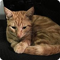 Adopt A Pet :: Julius - N. Billerica, MA