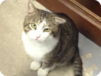 Domestic Shorthair Cat for adoption in Schererville, Indiana - Semi