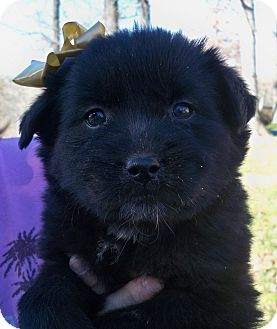 Labrador Retriever Mix Puppy for adoption in Manchester, Connecticut - princess MEET M,E 3/22