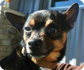 Chihuahua Mix Dog for adoption in white settlment, Texas - Sylvester
