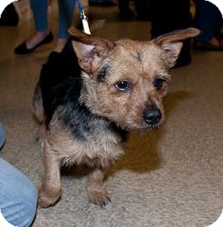 Norfolk Terrier Mix Puppy for adoption in Loudonville, New York - Julien