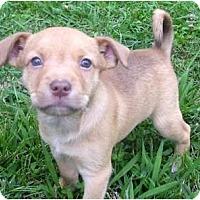 Adopt A Pet :: Merlot - Allentown, PA