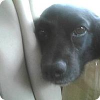 Adopt A Pet :: Cuddles - Southampton, PA