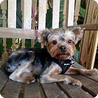 Adopt A Pet :: Clooney - St. Petersburg, FL