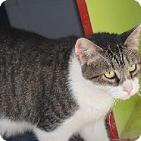 Domestic Shorthair Cat for adoption in New Iberia, Louisiana - Dean