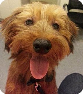 Australian Terrier/Yorkie, Yorkshire Terrier Mix Dog for adoption in Edina, Minnesota - Tigger *Allergies* D120254