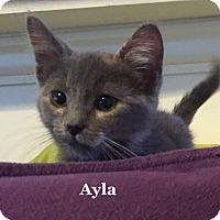 Adopt A Pet :: Ayla - Bentonville, AR