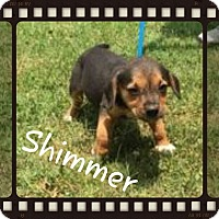 Adopt A Pet :: Shimmer (POM DC) - Washington, DC