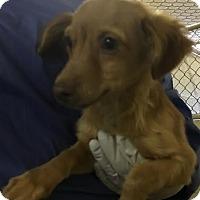 Adopt A Pet :: Iggy - Aurora, CO