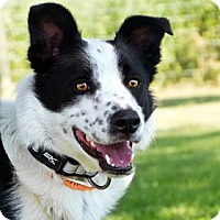 Border Collie Mix Dog for adoption in corinne, Utah - Elvis
