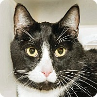 Domestic Shorthair Cat for adoption in Prescott, Arizona - Bandit
