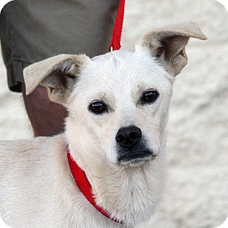 Terrier (Unknown Type, Small) Mix Dog for adoption in Palmdale, California - Simon