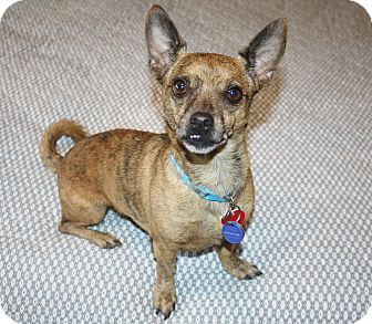 Chihuahua/Dachshund Mix Dog for adoption in Bellflower, California - Charlie - I'm an easy dog!