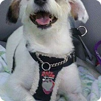 Fox Terrier (Smooth) Mix Dog for adoption in Mt. Prospect, Illinois - Griffith