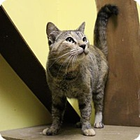 Domestic Shorthair Cat for adoption in West Des Moines, Iowa - Meow