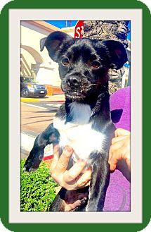 Pug/Dachshund Mix Puppy for adoption in Las Vegas, Nevada - Batman