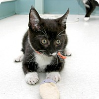 Domestic Shorthair Kitten for adoption in Stamford, Connecticut - Simon and Alvin
