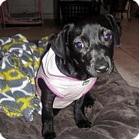 Adopt A Pet :: Vanillope - Fort Lauderdale, FL