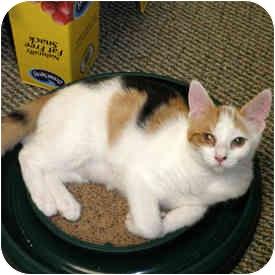 Calico Cat for adoption in Watkinsville, Georgia - Alice