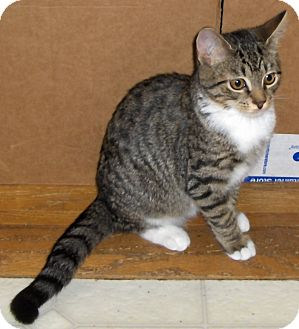 Domestic Shorthair Cat for adoption in Richmond, Virginia - Hallie