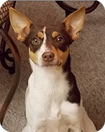 Rat Terrier Mix Puppy for adoption in Jacksonville, Florida - Tidbit