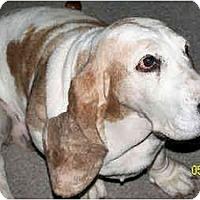 Adopt A Pet :: Nanci - Phoenix, AZ