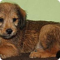 Adopt A Pet :: *Pezz - PENDING - Westport, CT