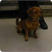 Adopt A Pet :: Venus - Alexandria, VA