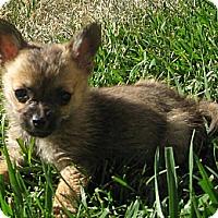 Adopt A Pet :: Baby Alfalfa - Oakley, CA