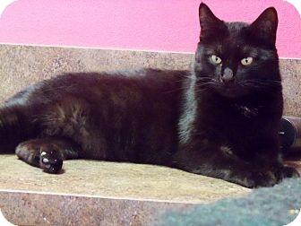 Domestic Shorthair Cat for adoption in Jupiter, Florida - Ava