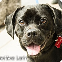 Adopt A Pet :: Rudy - Pierrefonds, QC