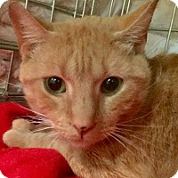 Domestic Shorthair Cat for adoption in Harrison, New York - Lila