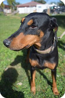 Doberman Pinscher Mix Dog for adoption in McAllen, Texas - Natasha