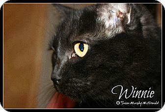 Domestic Shorthair Cat for adoption in Cumbeland, Maryland - Winnie