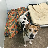 Beagle/Hound (Unknown Type) Mix Dog for adoption in Tuskegee, Alabama - Star