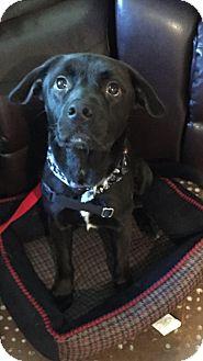 Labrador Retriever Mix Dog for adoption in Arlington Heights, Illinois - Jacob