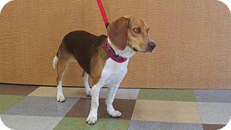 Beagle Dog for adoption in Santa Monica, California - Ginger (Purebred Beagle)