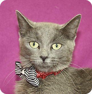 Domestic Shorthair Cat for adoption in Jackson, Michigan - Diamond