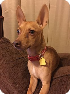 Miniature Pinscher/Chihuahua Mix Dog for adoption in McDonough, Georgia - Dobby