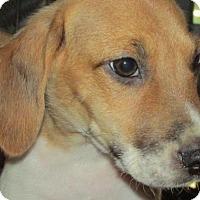 Adopt A Pet :: Pierce - Rocky Mount, NC
